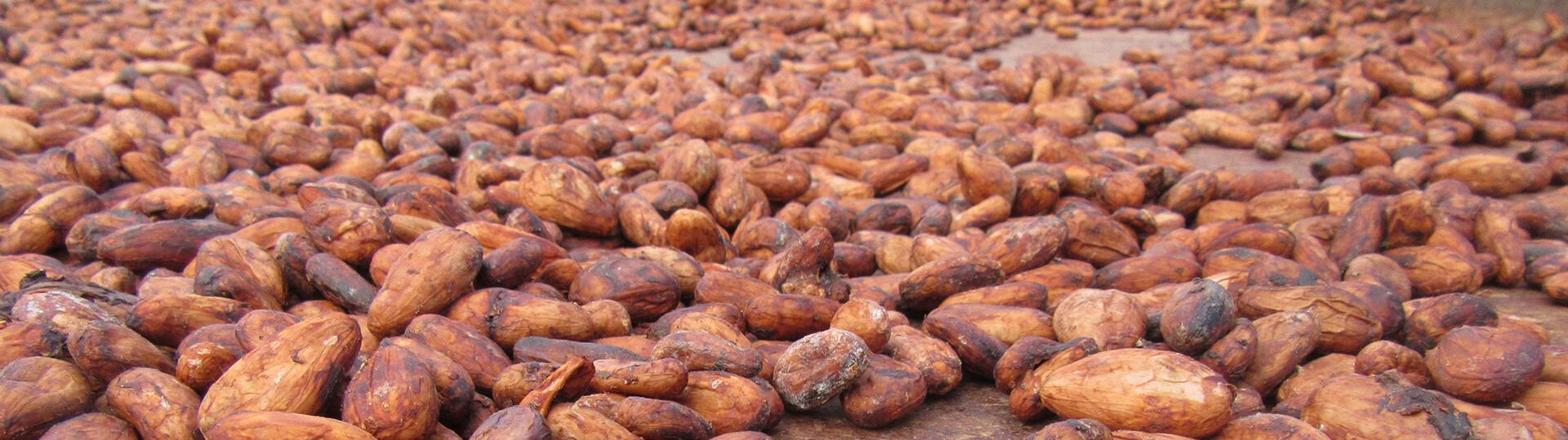 Nuevos Desafíos para el cacao de exportación